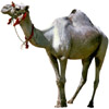the camel | le chameau