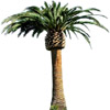 the palm-tree | le palmier