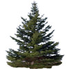 the fir tree | le sapin
